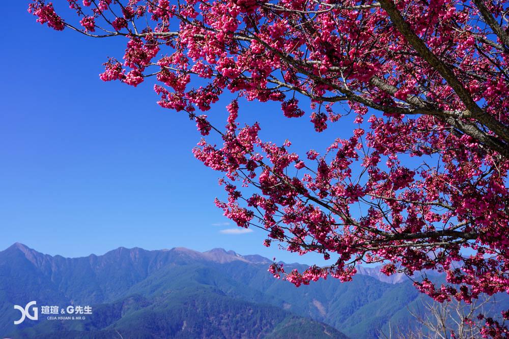 櫻緣丘 梨山拍照秘境 梨山景點 台中景點